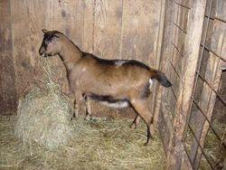 Ginger- Oberhasli goat.