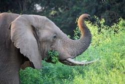 Elephant -Samburu Game Reserve
