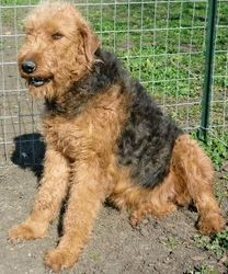 GIGI:  AKC Giant Airedale Terrier, super sweet, outgoing, even smiles