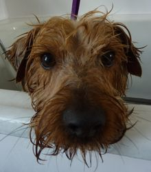 Alfie - Yorkshire Terrier X