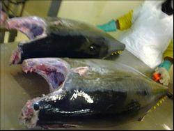 Yellowwfin tuna South Africa
