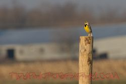 Western Meadowlarks join the show