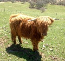 Fiona-Scottish Highland heifer
