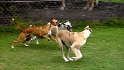 Ginger taking off for a zoom with pups