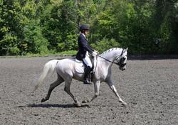FCF Oberon's Vanity, Arab stallion