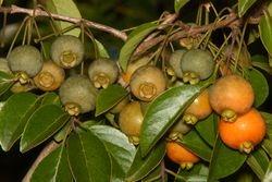 Gabiroba ( Campomanesia sp )