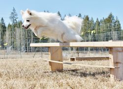 PLAYING WITH AGILITY IN THE YARD