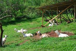 Goats at the Belmont Estate