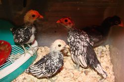Silver Sebright Chicks