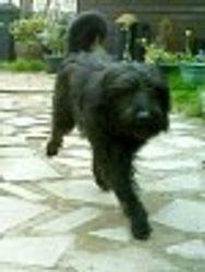 Zeus...Catalan Sheepdog