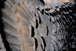Pencilled turkey