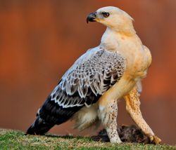 San Lameer Juvenile Crowned Eagle 2