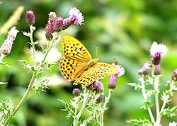 Silver washed fritillary - male