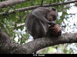 Coconut foraging (Teluk Terima)
