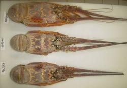 BRAZILIAN SPINY LOBSTERS