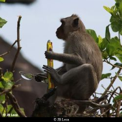 """A young macaque stole eyeglasses, received a first food reward (cracker), and is """"raising the bid"""" for a second food reward before returning the token (Uluwatu)"""