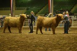 Senior Heifer Calves
