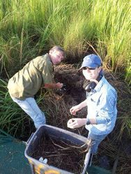 Allison ( our MSU graduate student) collecting alligator eggs