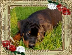 Brando puppy 2mnd.