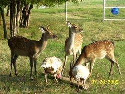 Sika deer 8-09