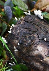 Xylaria hypoxylon (Candle-snuff fungus)