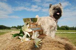 Aoibheann - Wild Rose Cairn Terrier Specialty