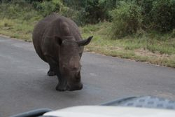 a mother rhino found a need to check out our car and make sure we were no threat.