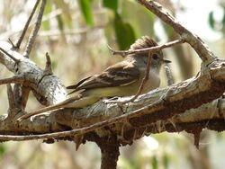 Southern Scrub Flycatcher
