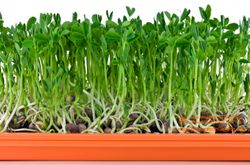 Fabaceae Family - PEA shoots; 8 days since sown