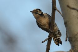 Lesser Spotted Woodpecker (PIC EPEICHETTE)