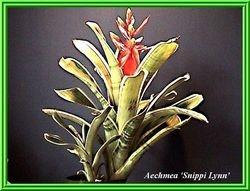 Aechmea 'Snippy Lynn' (Cultivar)  $25.00