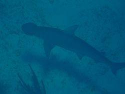 Bonnethead shark at Sandy Cay