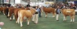 Heifer judging