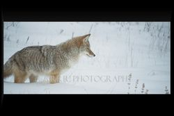 Coyote listens for the mouse under the snow