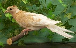 Orange Pearled Crested Silky female