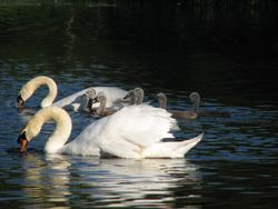 Mute swans 2