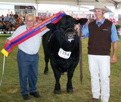 Senior Champion Bull - Black Simmental