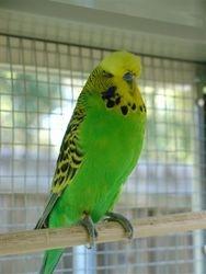 Light Green/Opaline Cock