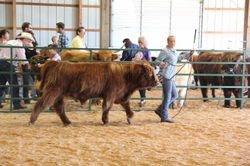 Champion Intermediate Yearling Bull