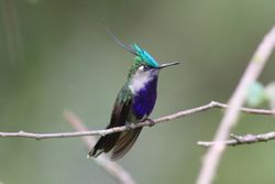 Beija-flor-de-topete (Stephanoxis lalandi)
