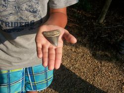 Megalodon tooth found by one of our Campers during our Stratford Hall Paleo Camp.