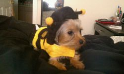 Mia, as a Bumblebee on Halloween