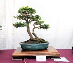Limoncillo (Triphasia trifolia)
