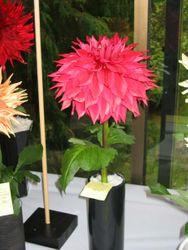 Winkie Colonel at the Vancouver Dahlia Society Show