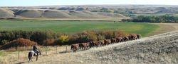 Trailing heifers home