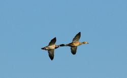 Tandem de colverts - Mallards in flight