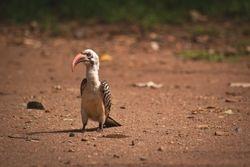 Red Billed (Jackson's) Hornbill