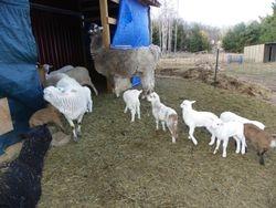 lambs with Earl, the llama