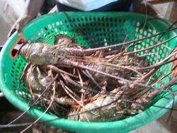 ROYAL/GREEN SPINY LOBSTER PANULIRUS REGIUS from Ghana