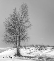 Winter Birch in Black and White